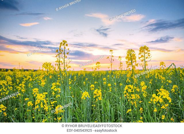 Gomel, Belarus. Sunset Sunrise Sky Over Spring Flowering Canola, Rape, Rapeseed, Oilseed Field Meadow Grass. Close Up Of Blossom Of Canola Yellow Flowers Under...