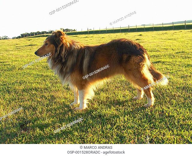 collie dog domestic animal