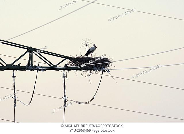 White stork on electricity pylon on his nest, Ciconia ciconia, Hesse, Germany, Europe