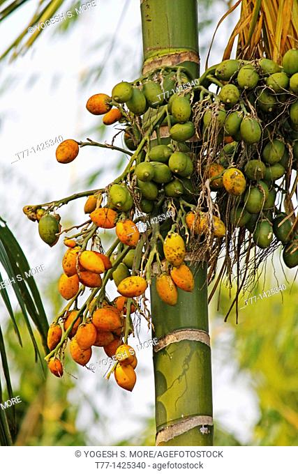Betel nuts Stock Photos and Images   age fotostock