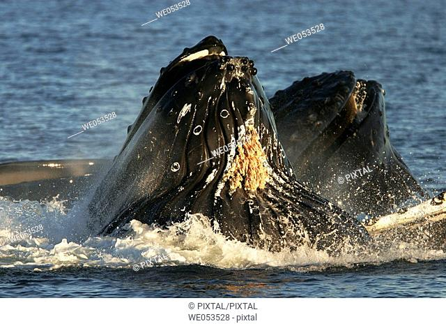 Adult humpback whales (Megaptera novaeangliae) cooperatively 'bubble-net' feeding (note the expanded throat pleats and barnacles hanging from throat) in...