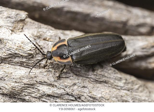A Winter Firefly (Ellychina corrusca) explores the bark of a tree