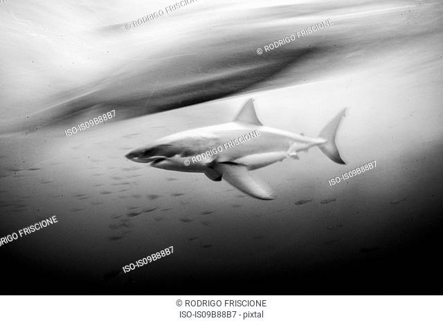 Great white shark (carcharodon carcharias) shot at slow shutter speed, Guadalupe, Mexico