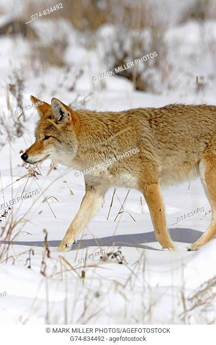 A coyote, walks in winter snow of Yellowstone National Park, USA