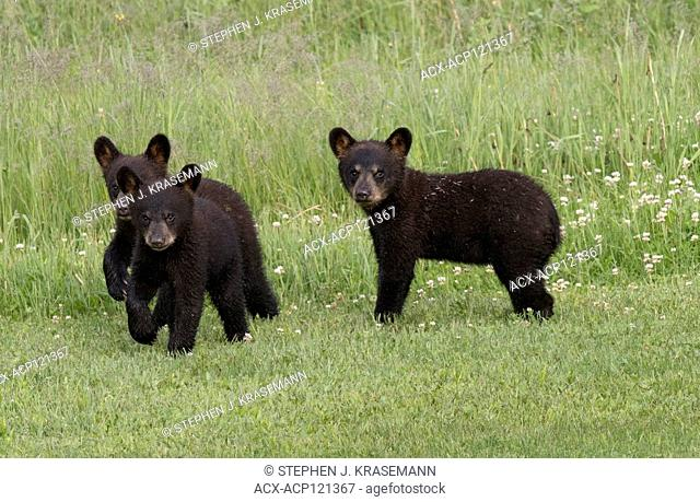 American black bear cubs (Ursus americanus), summer, near Thunder Bay, Ontario