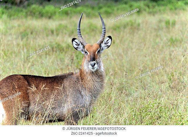 Waterbuck Antelope, Kobus ellipsiprymnus, at Lake Nakuru National Park, Kenya