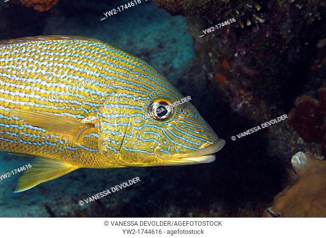 Grunt, a tropical reef fish in the Caribbean Sea around Bonaire, Dutch Antilles