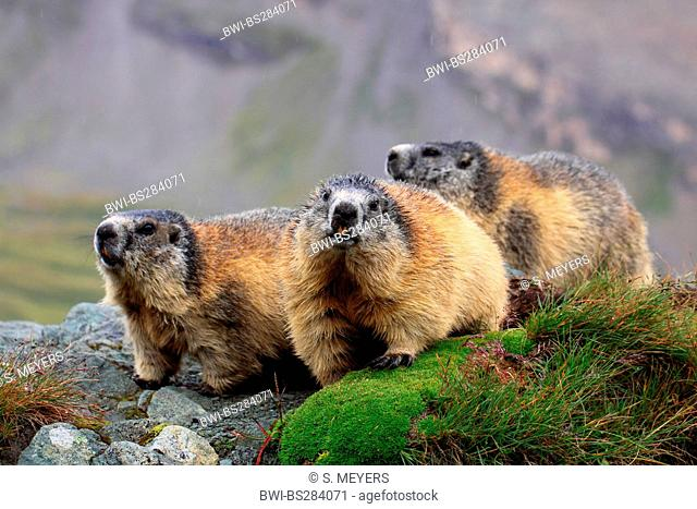 alpine marmot (Marmota marmota), three animals on a mossy rock spur, Austria, Hohe Tauern National Park, Grossglockner