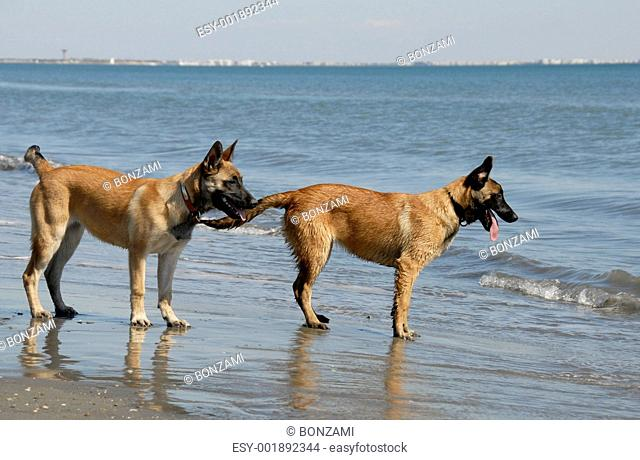 two young malinois on the beach