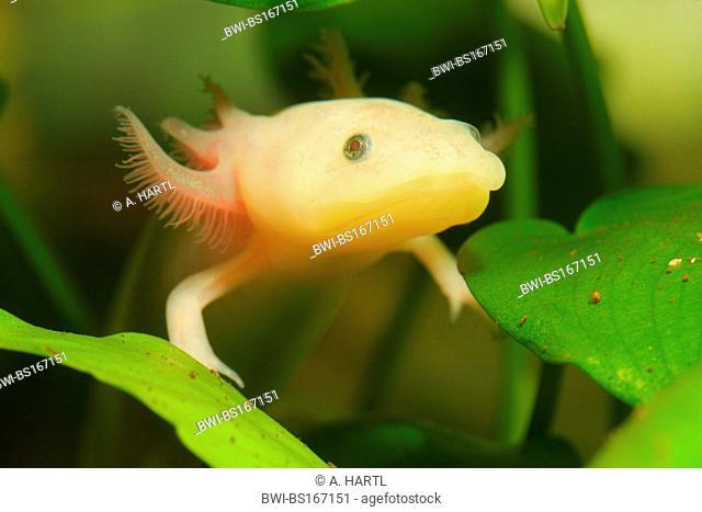 axolotl (Ambystoma mexicanum), albino, portrait