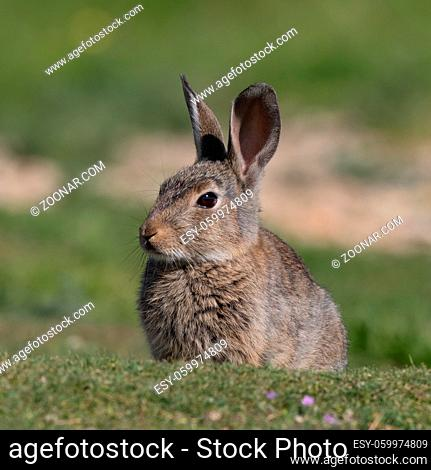 European rabbit, Common rabbit, Bunny, Oryctolagus cuniculus sitting on a meadow at Munich Panzerwiese