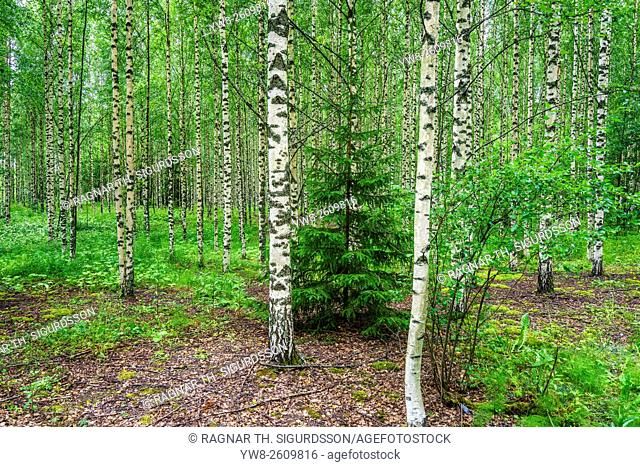 Birch trees, Hogland Island, Finland