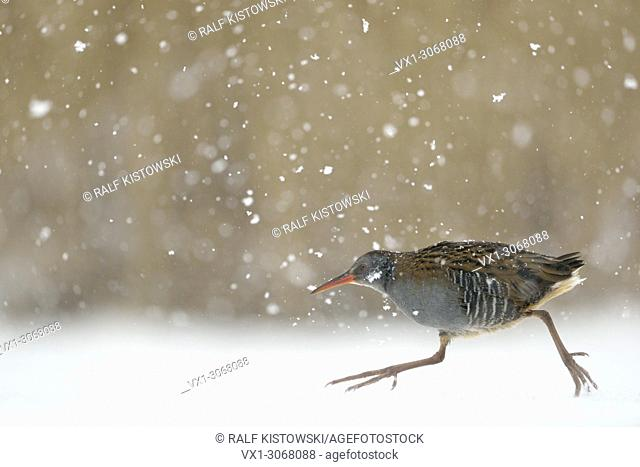 Water Rail ( Rallus aquaticus ) hurries over frozen covered through heavy snowfall, wildlife, Europe