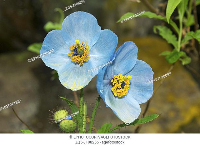 Blue poppy, Meconopsis aculeta, Hemkund Sahib, Uttarakhand, India