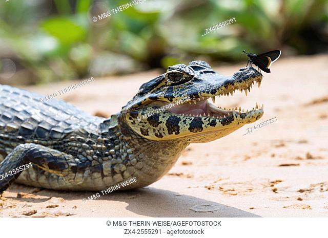Young Yacare caiman (Caiman yacare) with a butterfly on its nose, Cuiaba river, Pantanal, Brazil