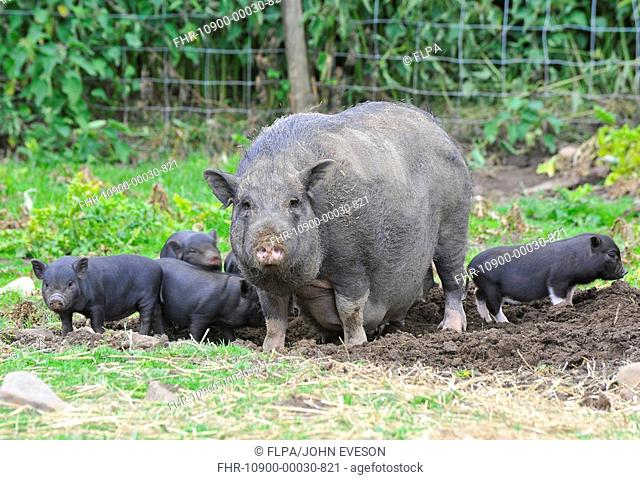 Domestic Pig, Vietnamese Pot-bellied Pig, sow with piglets, standing in paddock, England, july