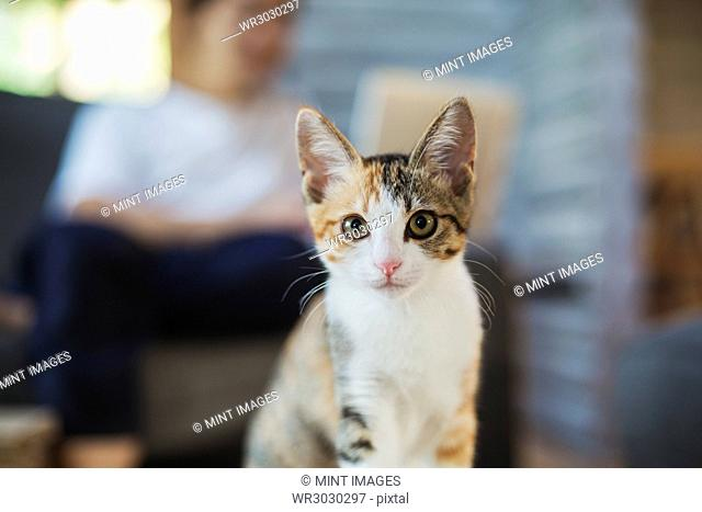 Close up of calico cat with white, black and brown fur