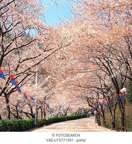 cherryblossoms, plant, road, tree, film