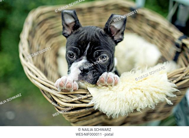 Germany, Rhineland-Palatinate, Boston Terrier, Puppy lying in a dog basket
