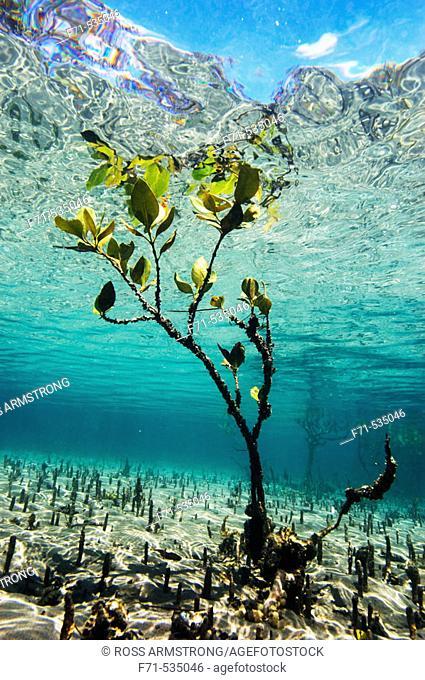 Mangrove shoot (Avicennia resinifera). Matapouri estuary. Northland. New Zealand. South Pacific Ocean