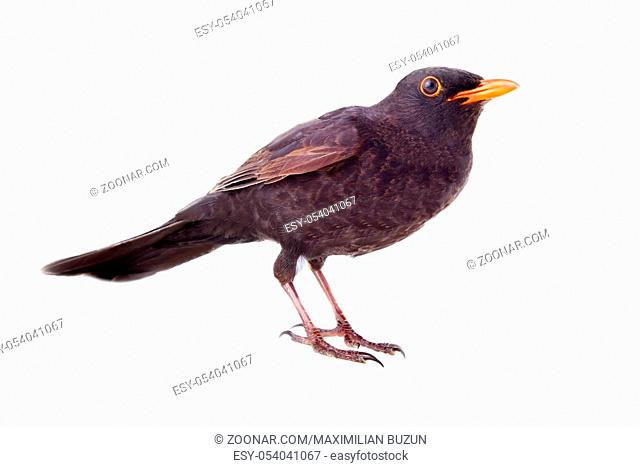 Male Blackbird. Isolated on white background