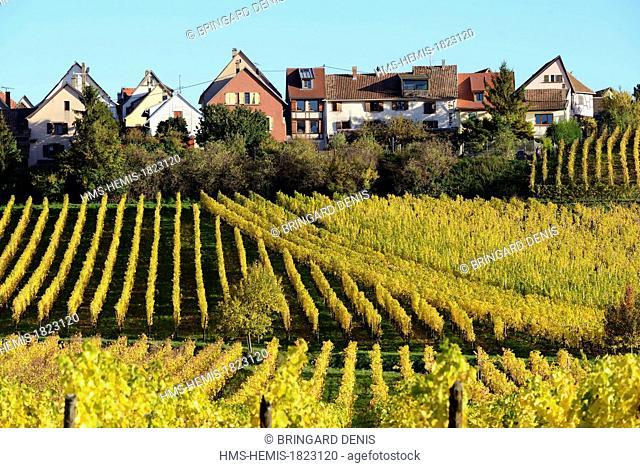 France, Haut Rhin, Alsace Wine Route, Zellenberg, vineyard