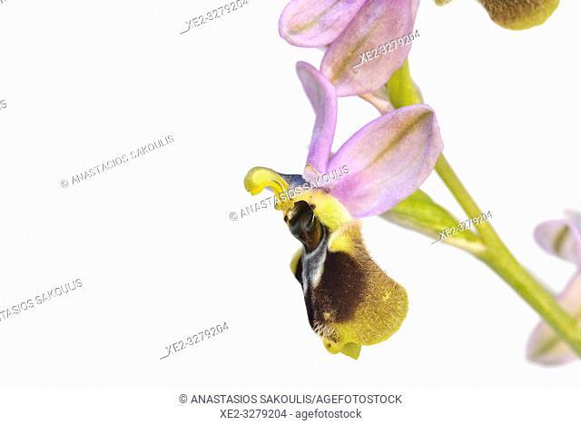 Ophrys tenthredinifera, Crete