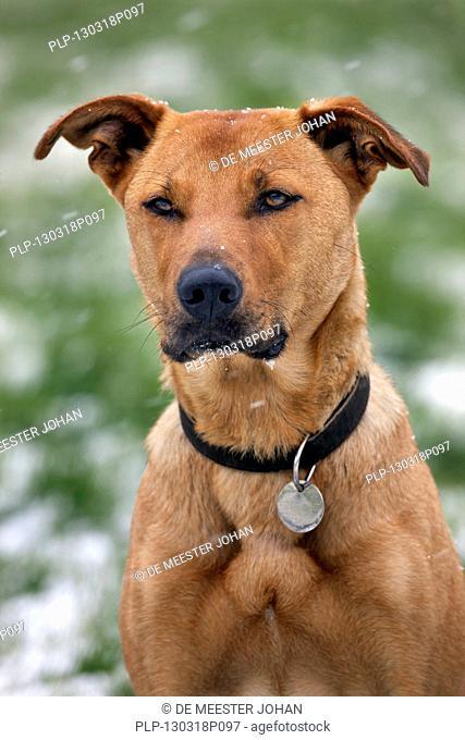 Mixed-breed dog (Labrador - Belgian shepherd dog / Malinois) in the snow in winter