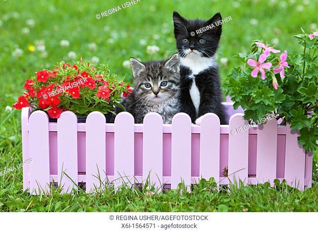 Kitten, two sitting in plant pot holder in garden, Lower Saxony, Germany