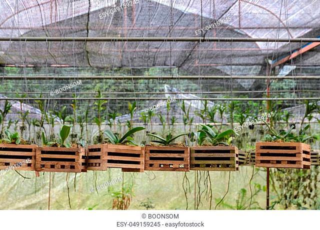 Vanda Orchid seedlings plant nursery in greenhouse