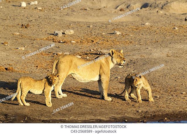 Lion (Panthera leo) - Female with two cubs at a waterhole. Etosha National Park, Namibia