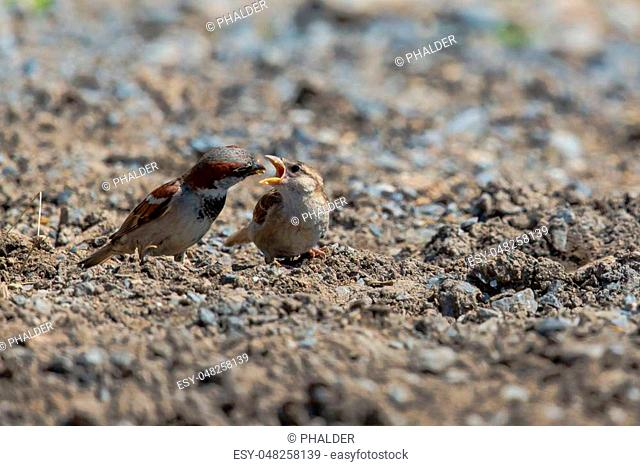Sparrow feeding offspring in natural environment