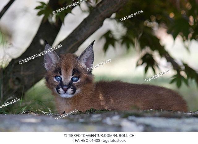 desert lynx baby