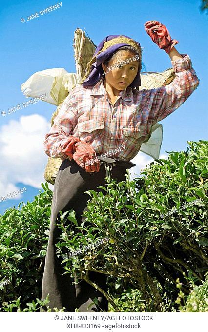 India,West Bengal,  Darjeeling, Happy Valley, Woman tea picking