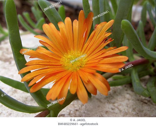 Golden iceplant (Lampranthus aureus), flower