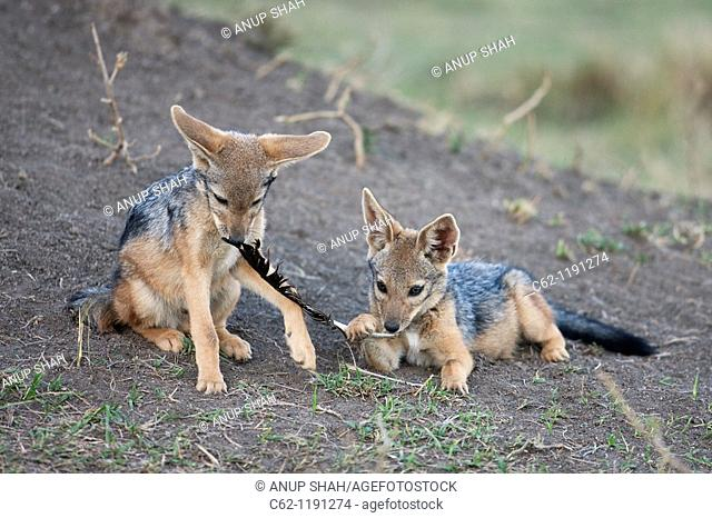 Black-backed jackal (Canis mesomelas) pups 6-9 months old playing with a vulture feather, Maasai Mara National Reserve, Kenya