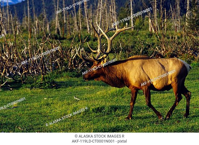 Bull Elk Walking Alaska Captive