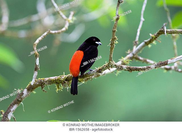 Scarlet-rumped Tanager (Ramphocelus passerinii), male, Braulio Carrillo Nationalpark, Costa Rica, Central America