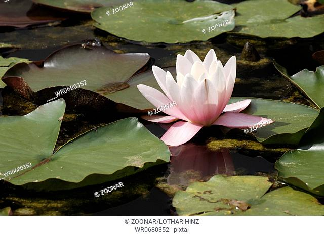 Nymphaea hybrid, Water lily, aquatic plant