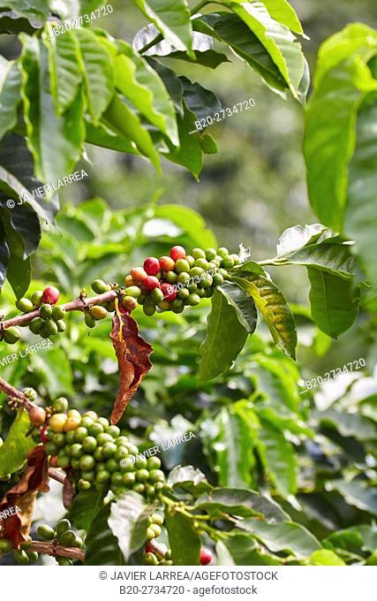 Cafetal, Coffee plantations, Coffee Cultural Landscape, Buenavista, Quindio, Colombia, South America