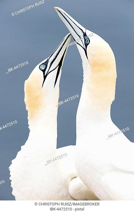 Northern Gannets (Morus bassanus) billing, Lummenfelsen, Heligoland, Germany