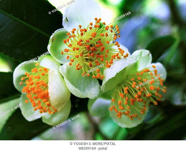 Close up of Tea Flower. Scientific classification, Kingdom:Plantae Division: Magnoliophyta. Class: Magnoliopsida. Order: Ericales. Family: Theaceae