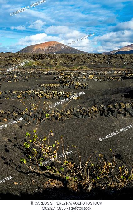 Vineyards in La Geria in Lanzarote Canary Islands Spain