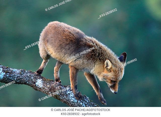 Un zorro Común (vulpes vulpes). Parque Nacional de Monfragüe, Caceres, Extremadura, Spain