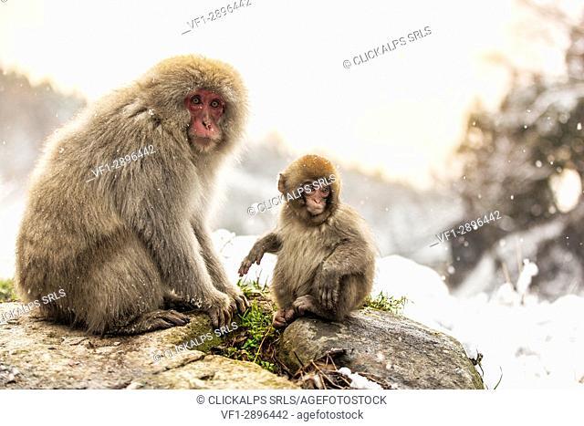 Snow monkeys of Jogokudani valley, Nakano, Nagano prefecture, Japan