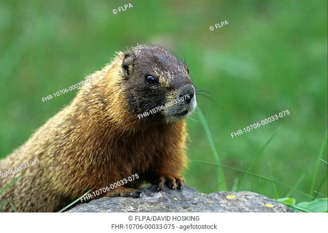 Yellow-bellied Marmot Marmota flaviventris Yellowstone National Park, USA