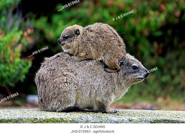 Rock Dassie, (Procavia capensis), mother with young on back, Betty's Bay, Western Cape, South Africa, Africa