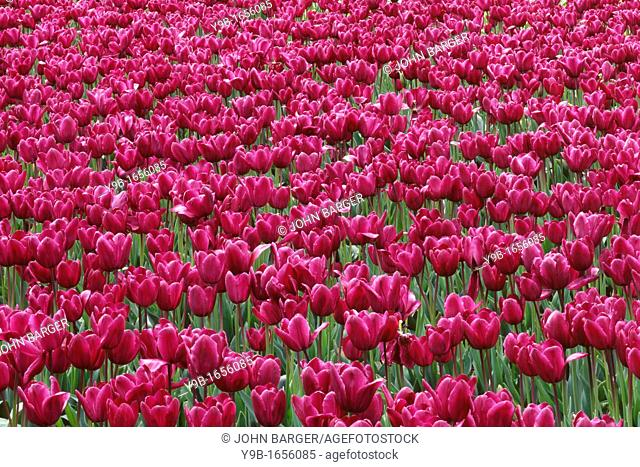 Field of purple tulips display spring bloom, near Woodburn, Willamette Valley, northern Oregon, USA