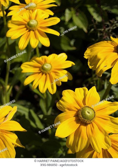 Yellow flower, 'Prairie Sun Rudbeckia' variety