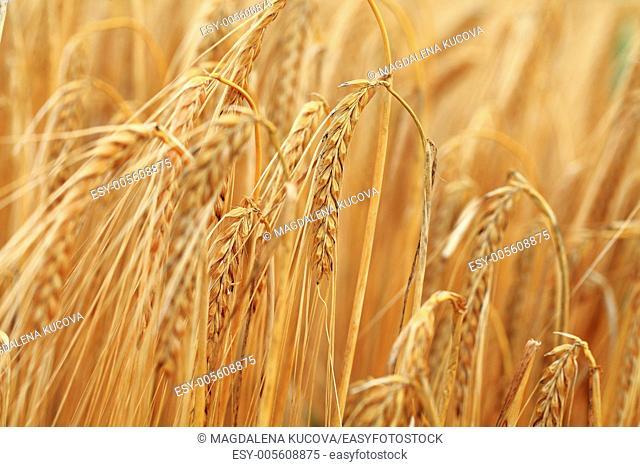 Detail of corns in field